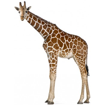 Reticulated Giraffe Cardboard Cutout - $49.99