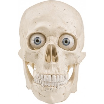 Medical Human Skull with Eyes Cardboard Cutout - $49.99