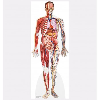 Anatomy Cross Section Cardboard Cutout - $39.95