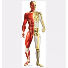 Anatomy Half Muscle Half Skeleton