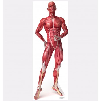 Anatomy Muscle System Cardboard Cutout - $39.95