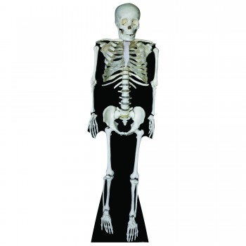 Skeleton Cardboard Cutout
